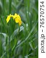 鮮やかな黄色い花びらが印象的な野に咲く黄菖蒲 76570754