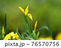 鮮やかな黄色い花びらが印象的な野に咲く黄菖蒲 76570756