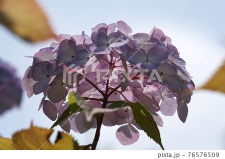 下から見上げたアジサイの花の内側 76576509