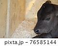 牧場の子牛 76585144