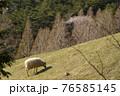 牧場の羊と桜 76585145