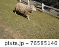 牧場で駆ける羊 76585146