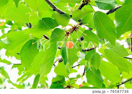 <果物狩りイメージ>下から見上げた色づき始めたさくらんぼ 76587736