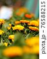 太陽の光をいっぱいに浴びて元気よく咲いてるキンセンカ 76588215