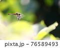 残暑が残る暑い日に枝に止まって一休みするアキアカネ 76589493