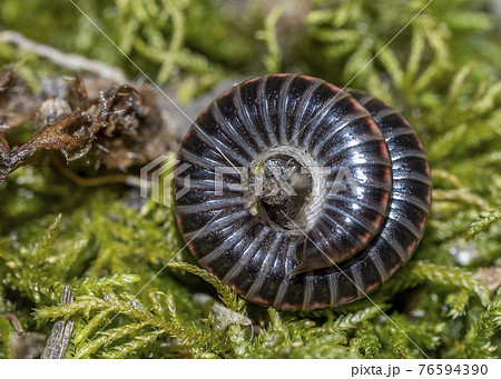 Julidae Millipedes close up macro 76594390