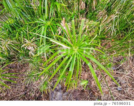 papyrus plant close up 76596031