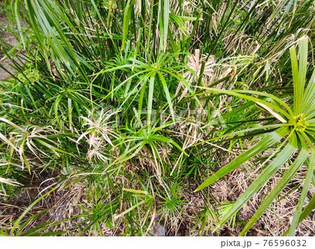 papyrus plant close up 76596032