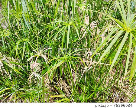 papyrus plant close up 76596034