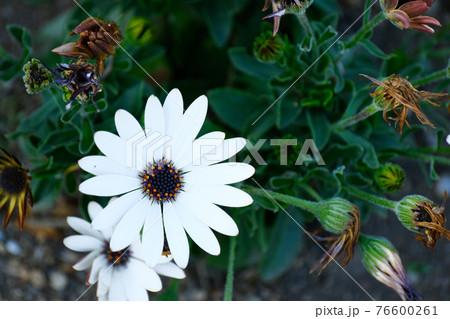 4月 春の公園に咲く白色のオステオスペルマム 76600261