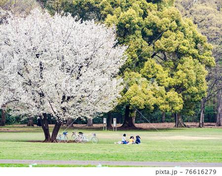 春爛漫 満開の桜の下でお花見する女の子たち 76616279