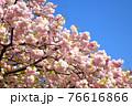 八重桜 松月 76616866