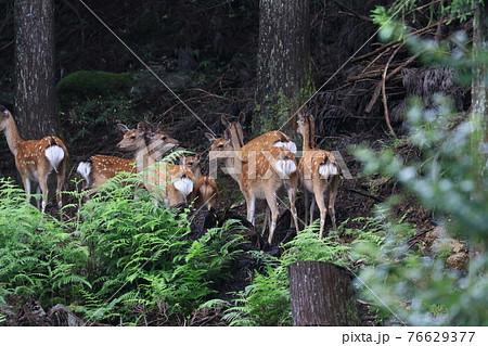 山から下りてきていた野生の鹿たちが戻ろうと集まってる姿 76629377