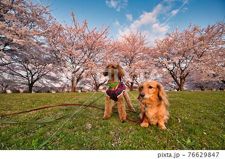 満開の桜が咲く公園で桜を眺めるトイプードルとミニチュアダックスフント 76629847