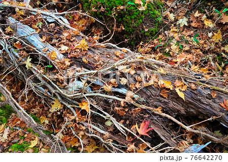 横たわる枯れ木と散らばったモミジ 76642270