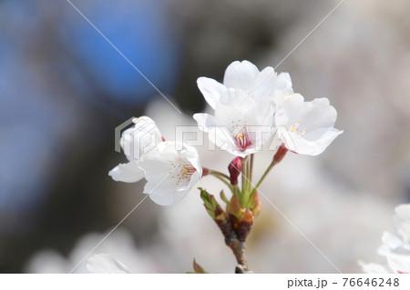 宮川の千本桜・桜アップ(会津美里町) 76646248