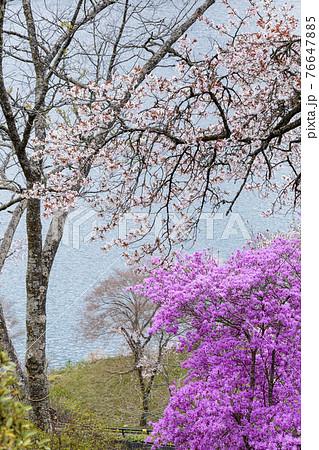 奥多摩湖に咲く桜の花とミツバツツジ 春景 76647885