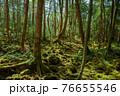 (山梨県)青木ヶ原樹海の新緑と木々 76655546