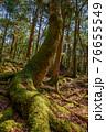 (山梨県)青木ヶ原樹海の大きな木 76655549