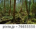 (山梨県)青木ヶ原樹海の木々、深い森の奥 76655550