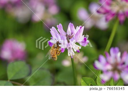 れんげ草と蜜蜂 76656345