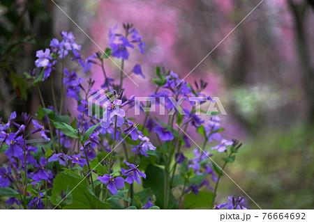 3月 相模原175ムラサキハナナ(紫花菜)・アブラナ科・城山かたくりの里 76664692
