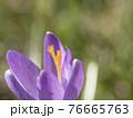 close up macro violet Crocus vernus spring flower on green leaves bokeh background, selective focus on pistil 76665763