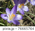 close up macro violet Crocus vernus spring flower on green leaves bokeh background, selective focus on pistil 76665764