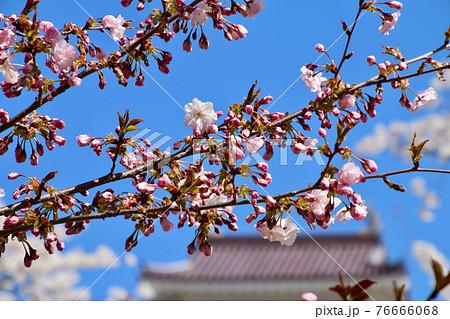 春の鶴ヶ城・新種の桜「はるか」(福島県・会津若松市) 76666068