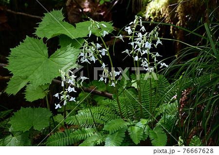 針葉樹林帯に咲く白い花オサバグサ 76667628