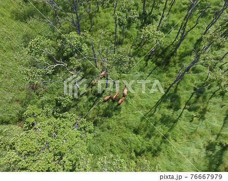 空撮・ハンノキ林に隠れるエゾシカの群(北海道・鶴居村) 76667979