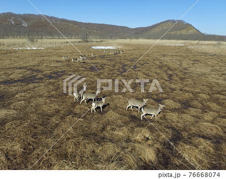 空撮・早春の釧路湿原に群れるエゾシカ(北海道・標茶町) 76668074