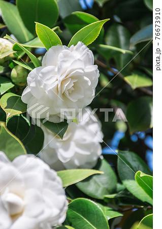 白ツバキの花 76673910