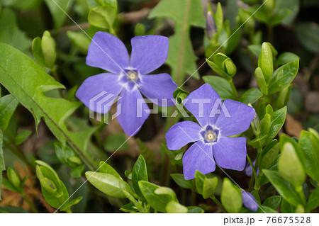 紫の春花 76675528