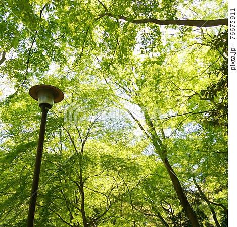 武蔵野雑木林の萌えるような新緑を見上げた風景 76675911
