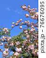 ピンク色の八重桜   76676095