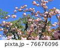 ピンク色の八重桜   76676096