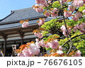 西新井大師 本堂とピンク色の八重桜   76676105