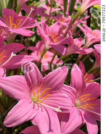 満開のピンク色のゼフィランサス、レインリリーの花 76677223