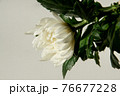 白い菊の花室内撮影白背景 76677228