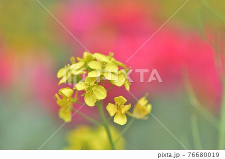 ぼんやりと赤いチューリップ畑が背景に見える黄色い菜の花 76680019