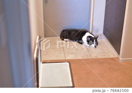 犬用ベッドやソファーを使わずに玄関に行ってしまう室内飼いの黒コーギー  76682500