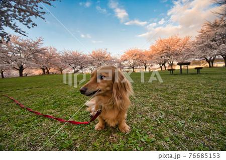 桜が満開の朝の公園の芝生で座るミニチュアダックスフント 76685153