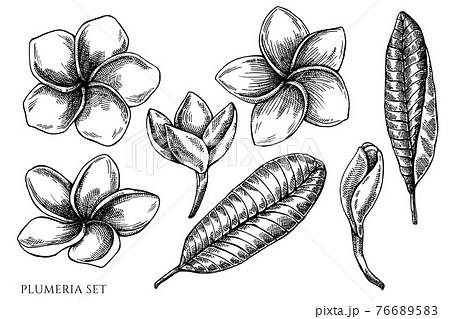Vector set of hand drawn black and white plumeria 76689583