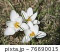 three close up macro pure white Crocus vernus. Spring flower on green leaves bokeh background, selective focus, top view 76690015