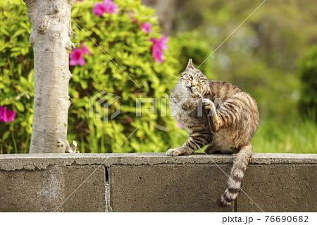 痒い所を掻く猫 76690682