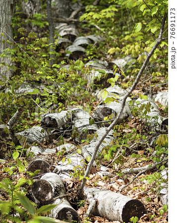 裁断されたより多くの倒木の幹 縦構図 76691173