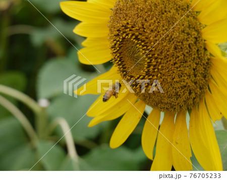 ミツバチとひまわり(コピースペースあり) 76705233
