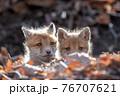 巣穴から顔を出すキタキツネの子供 76707621