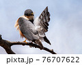 木の枝で羽繕いするハイタカ 76707622